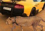 jachtluipard