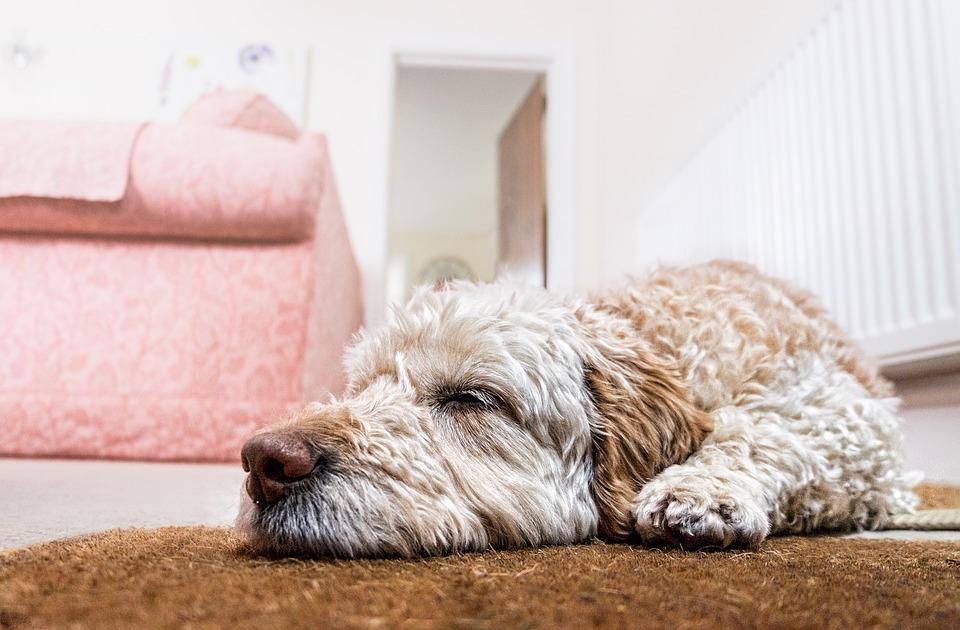 hond op vloer