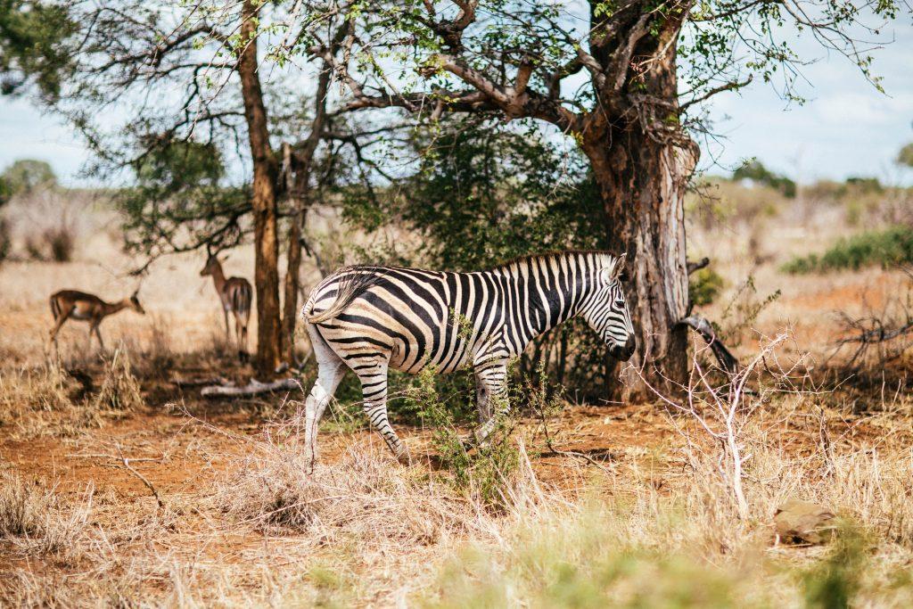 zebra-wild