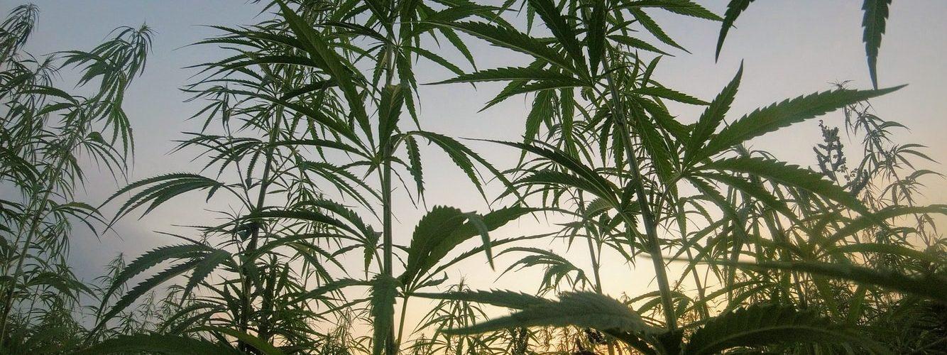 cannabisteelt