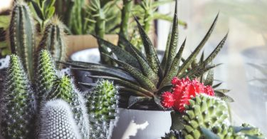 planten-cactussen