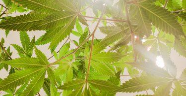 weed-blaadjes